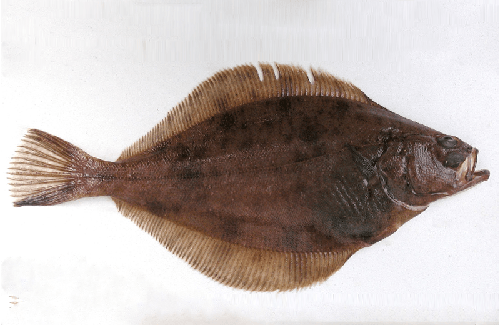 Atlantik Haddock Mail: FROZEN PLAICE / FLOUNDER