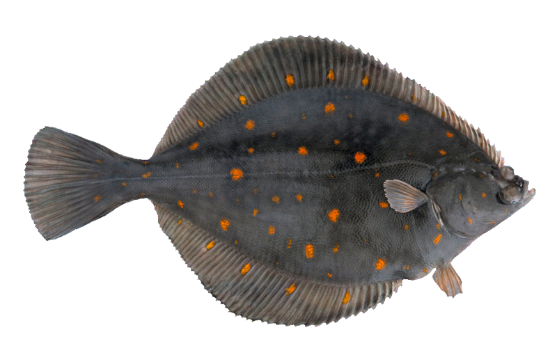 Atlantik Haddock Mail: PLAICE / FLOUNDER