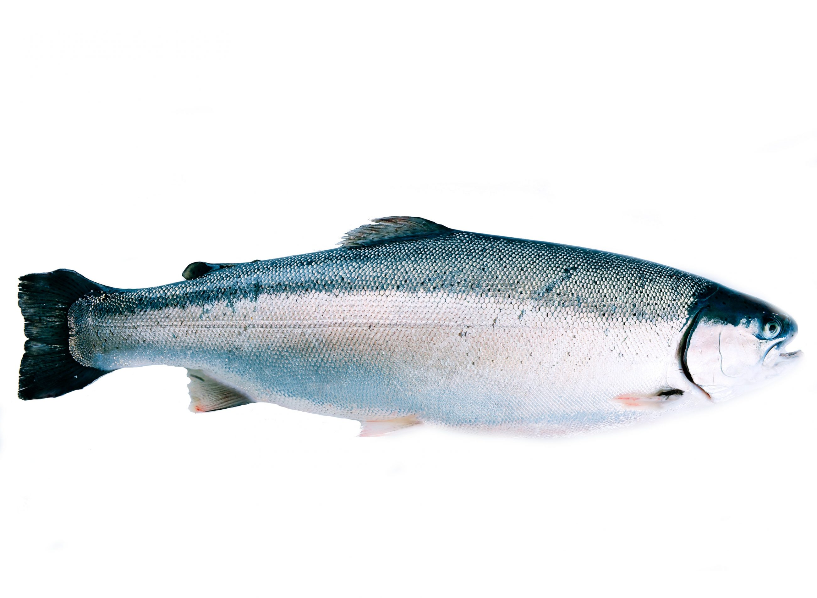 Product - Trout