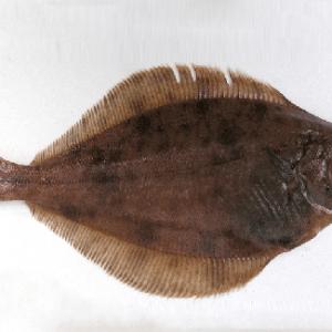 Plaice / flounder