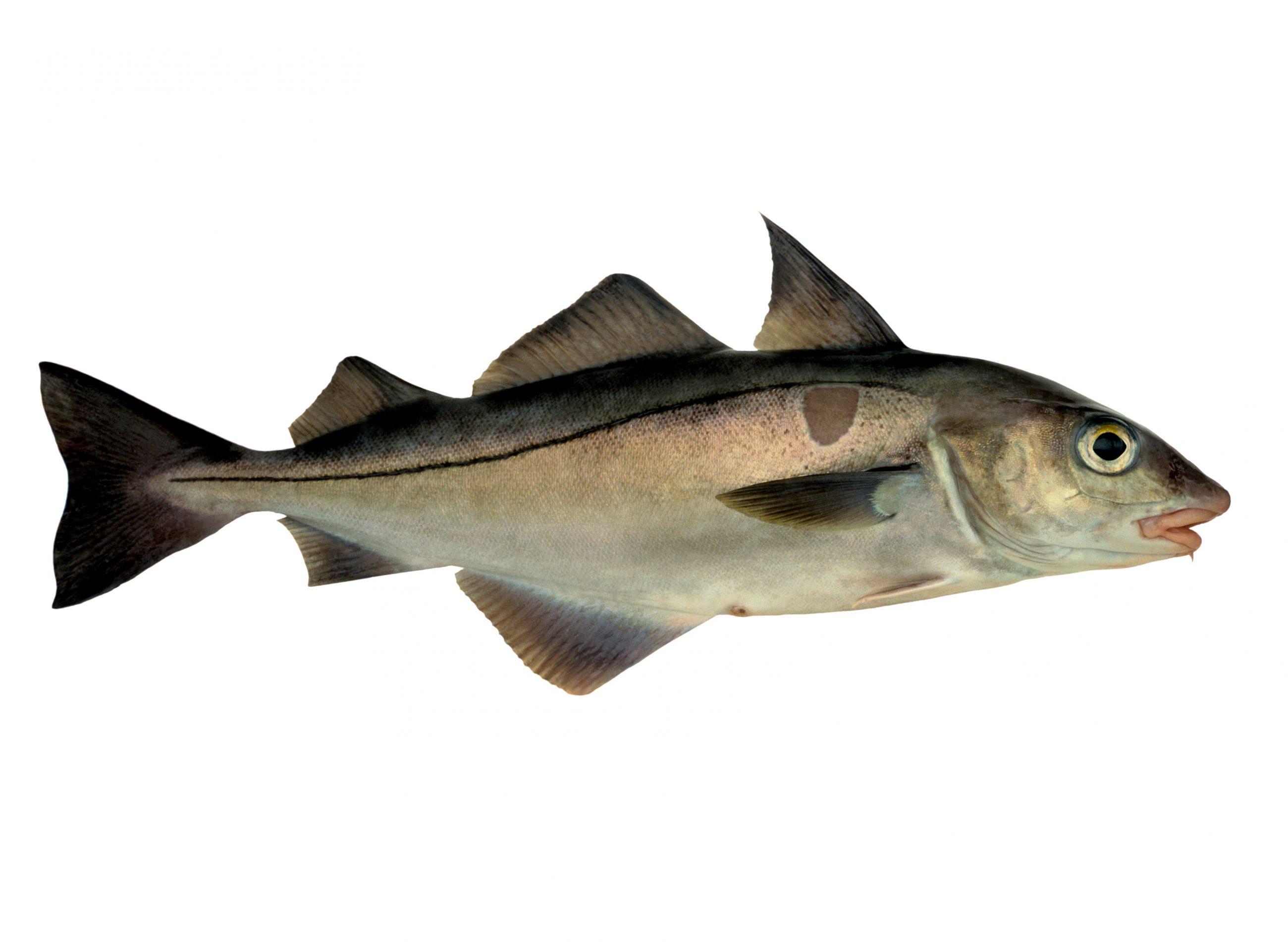Product - Haddock