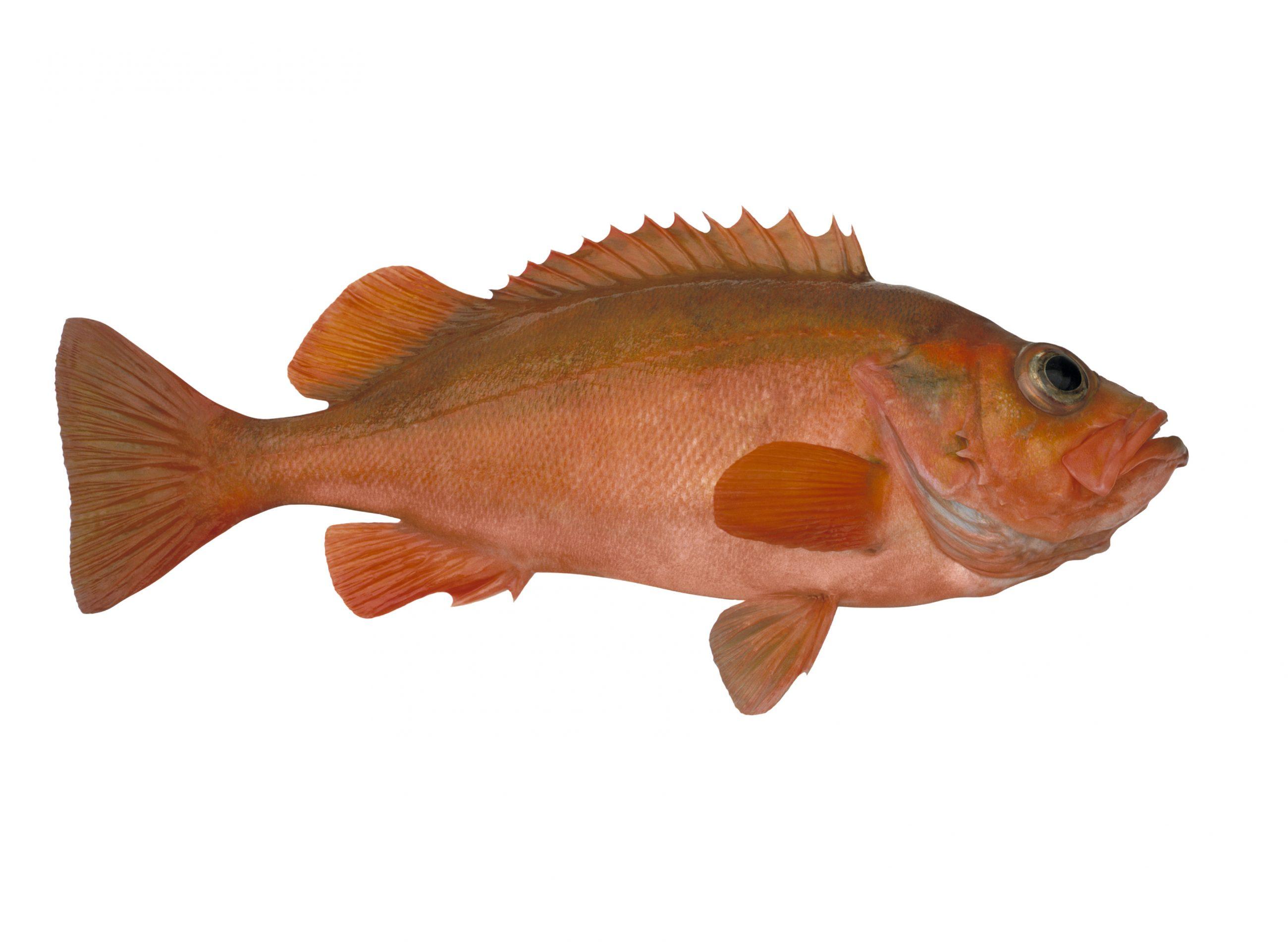 Product - Redfish
